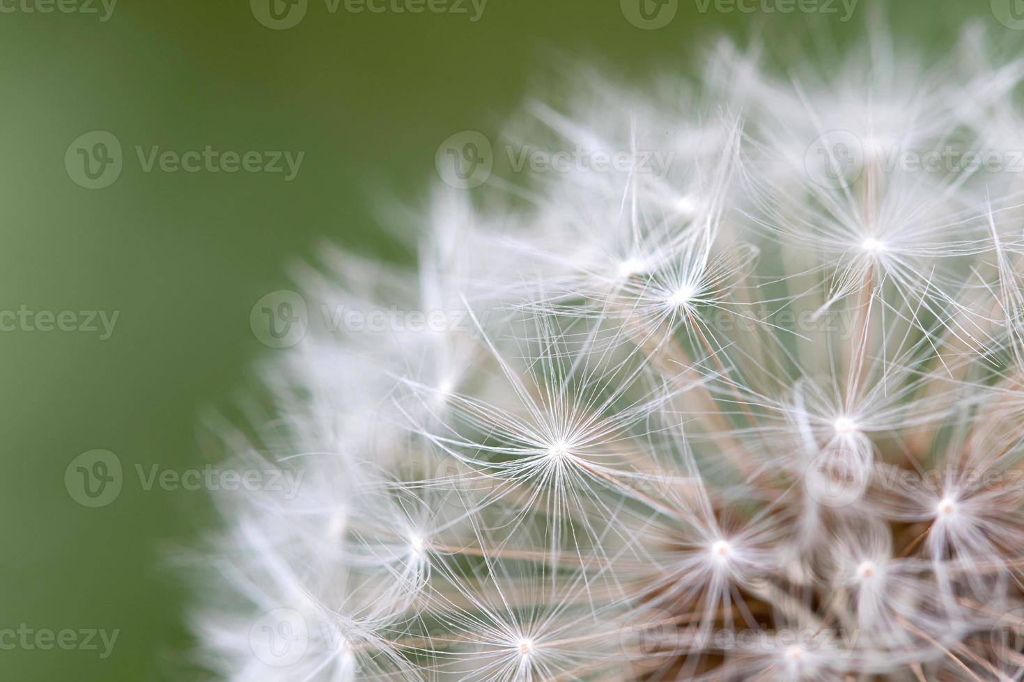 semilla de diente de león de cerca foto