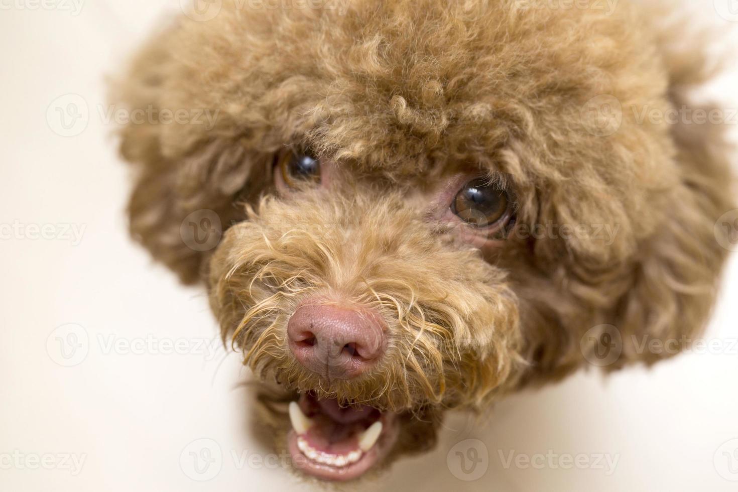 Close up Poodle face photo