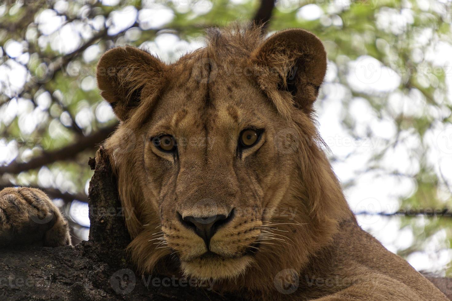 adorable león de cerca foto