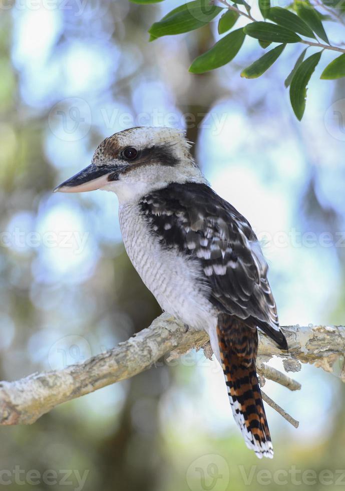 riendo kookaburra en el monte foto