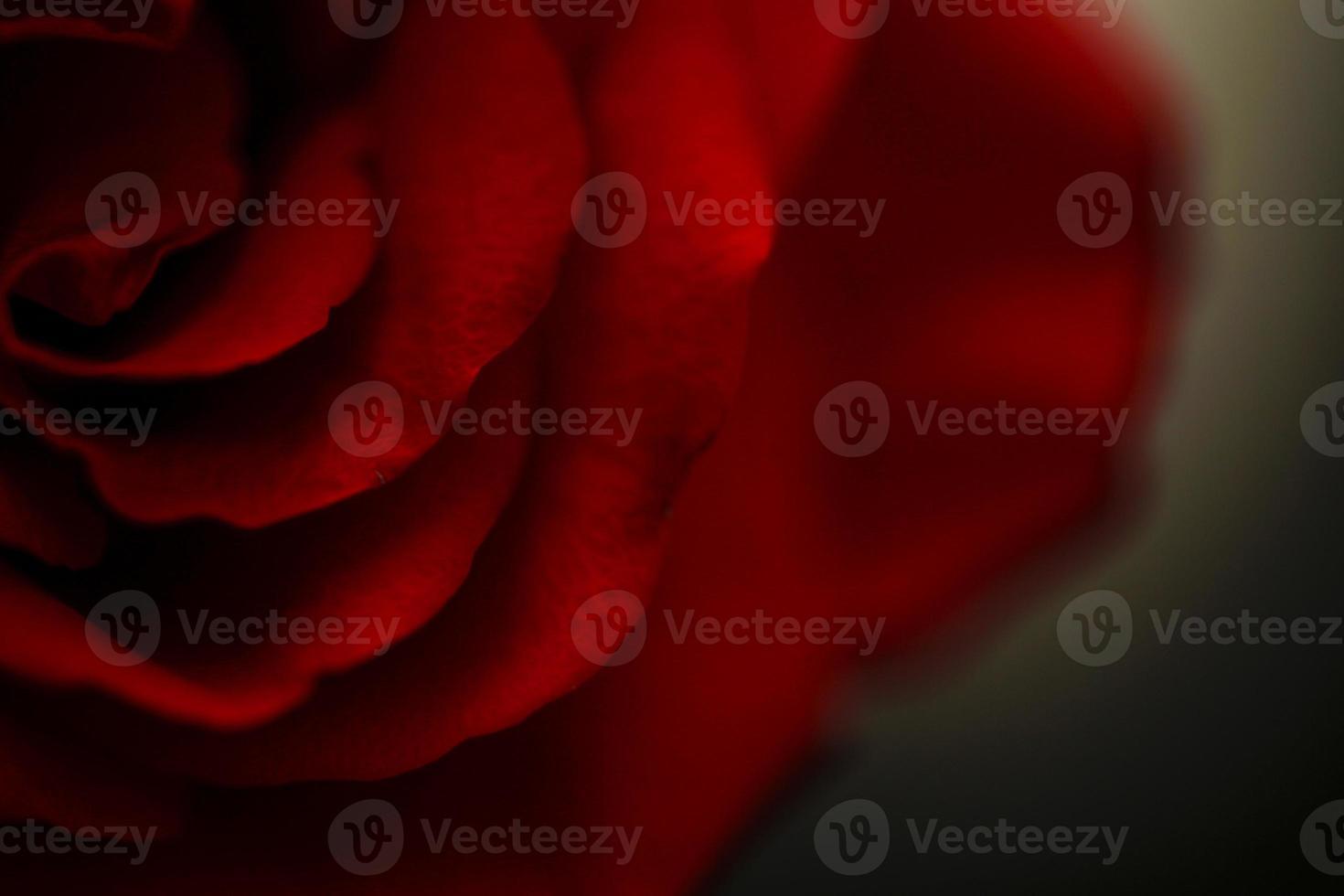rose close up 2 photo