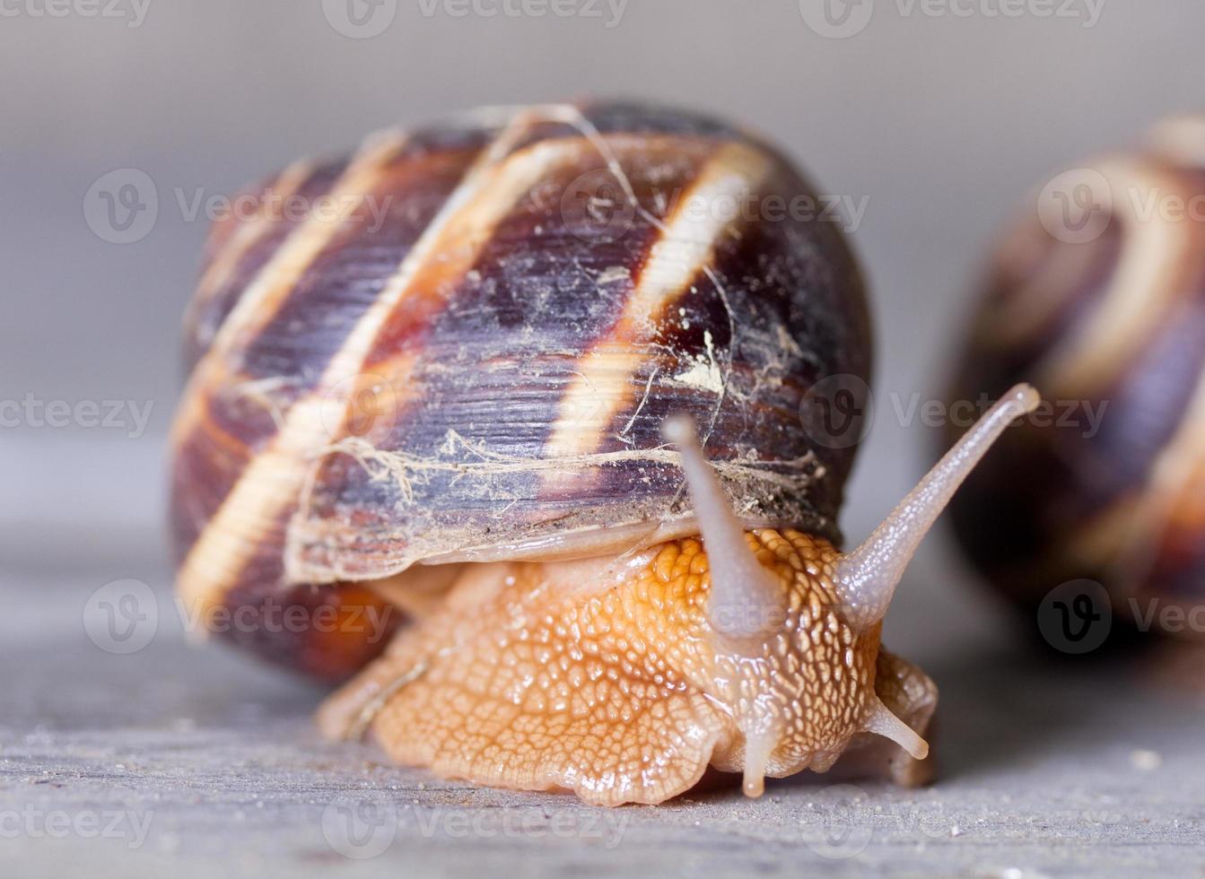 Grape snail close-up photo