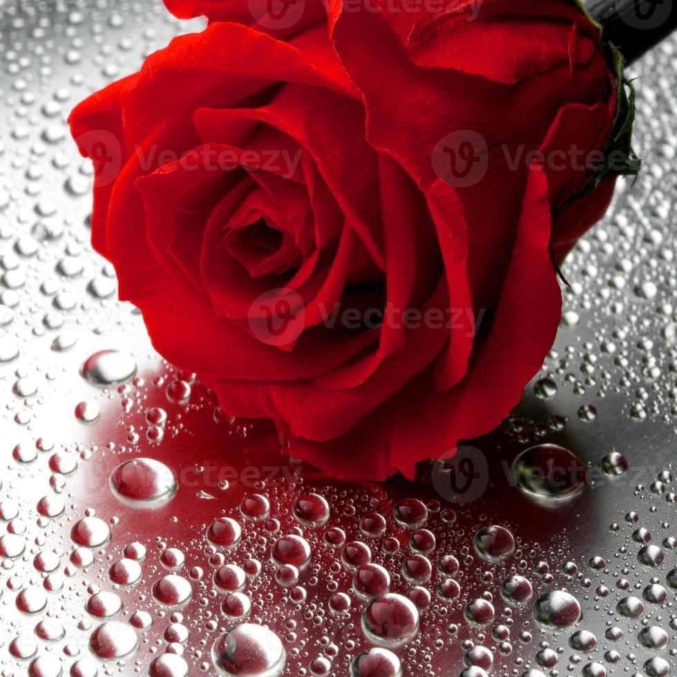 beautiful close up rose photo