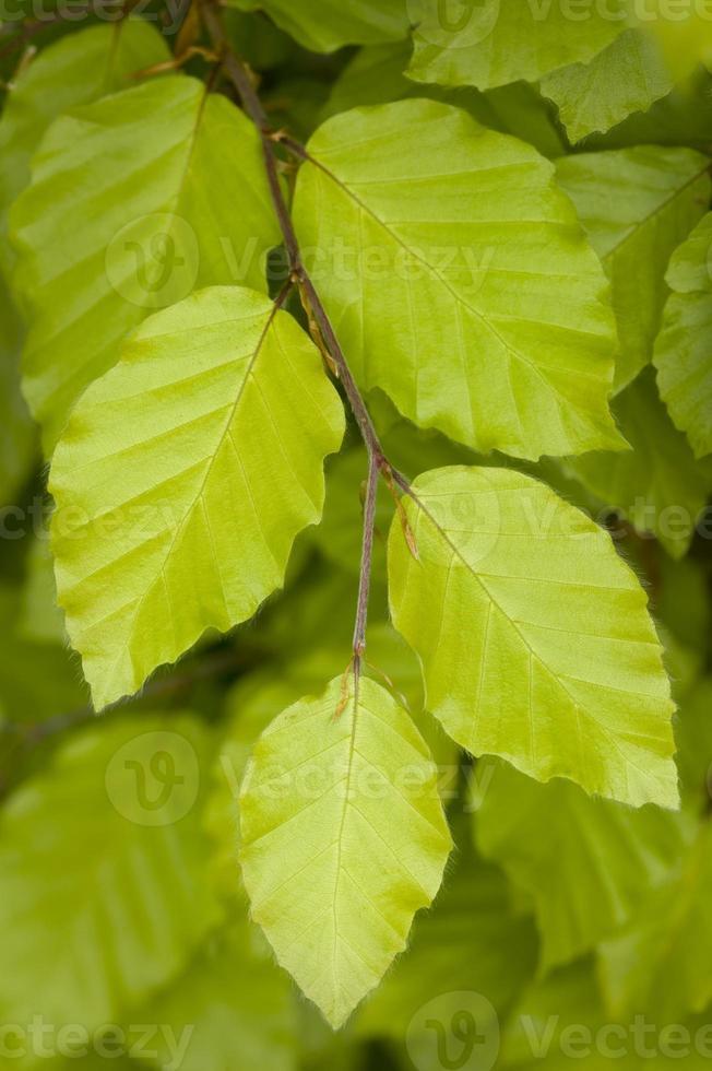 hojas de haya de cerca foto