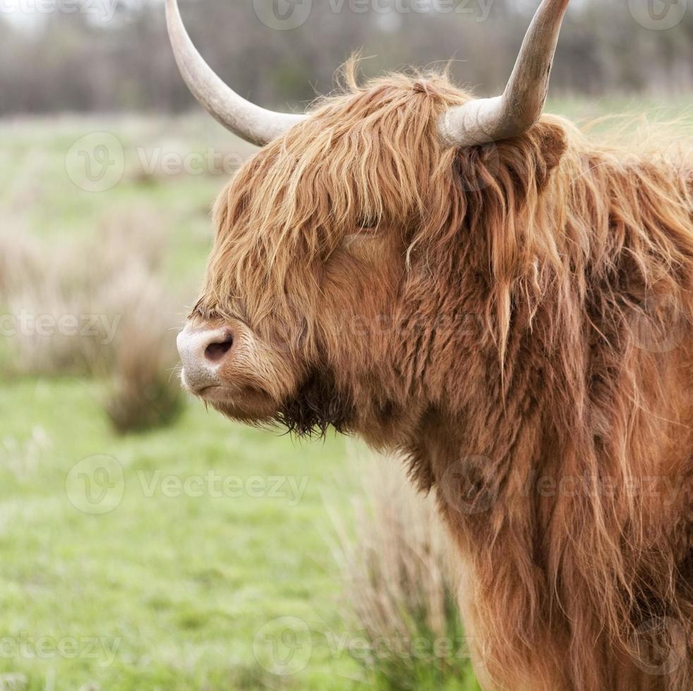 primer plano de ganado de las tierras altas foto
