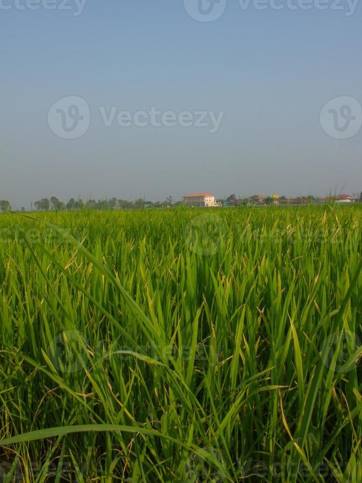 fram de arroz de cerca foto