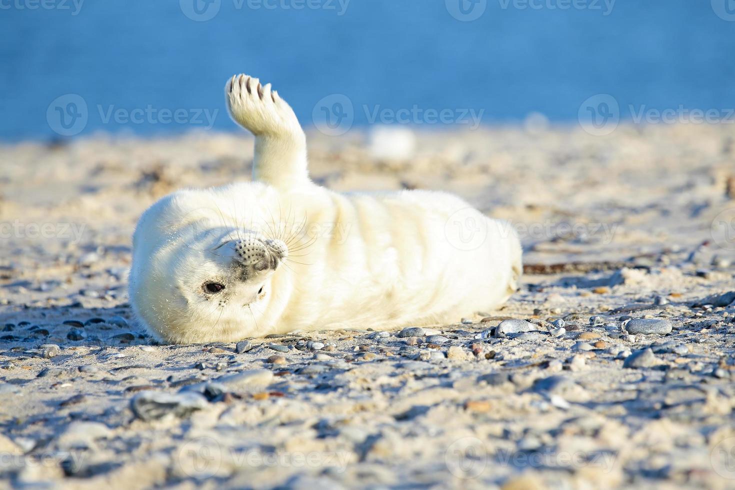 cría de foca gris (halichoerus grypus) relajante en la playa foto