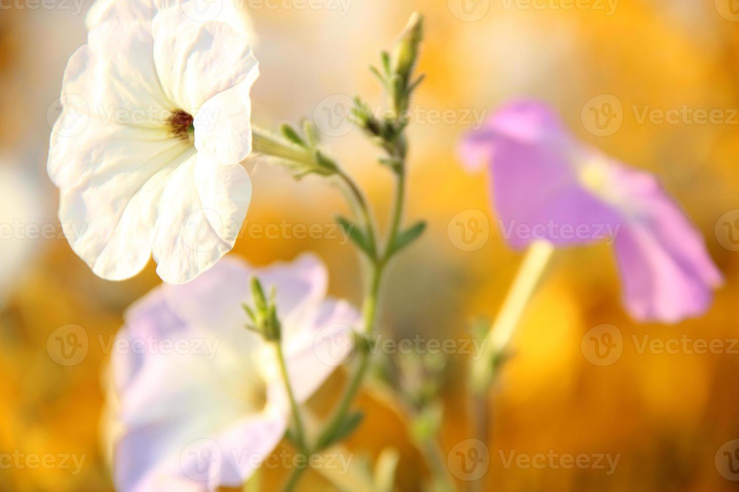 Petunia picturesque 1 photo