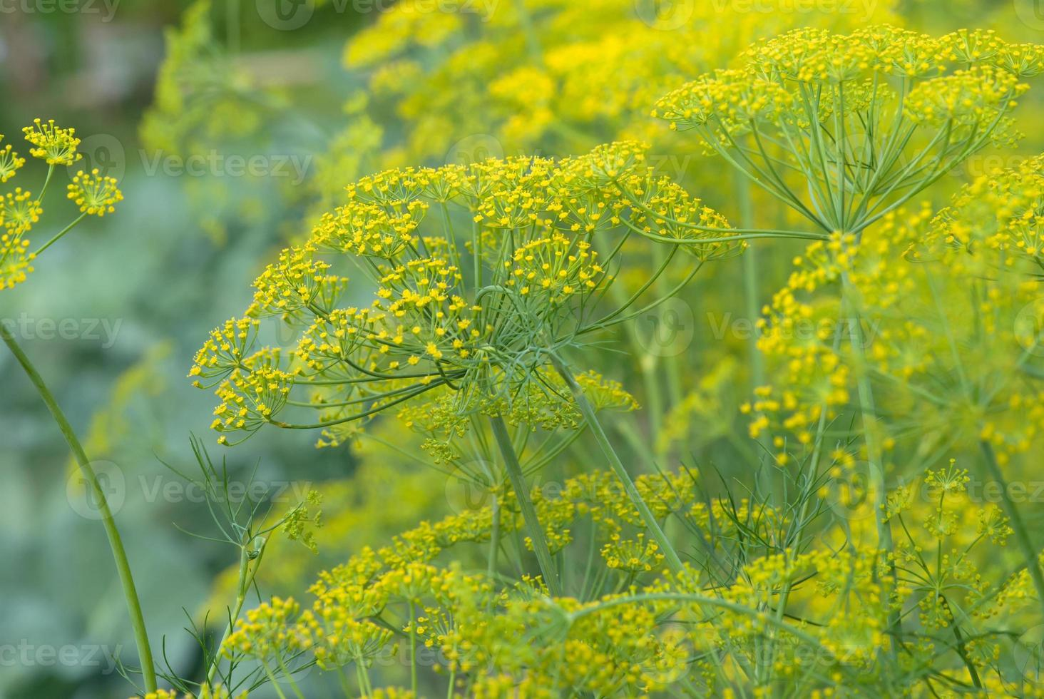 Dill flowers close-up photo