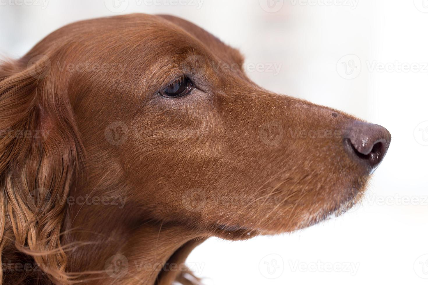 close-up Red Setter photo