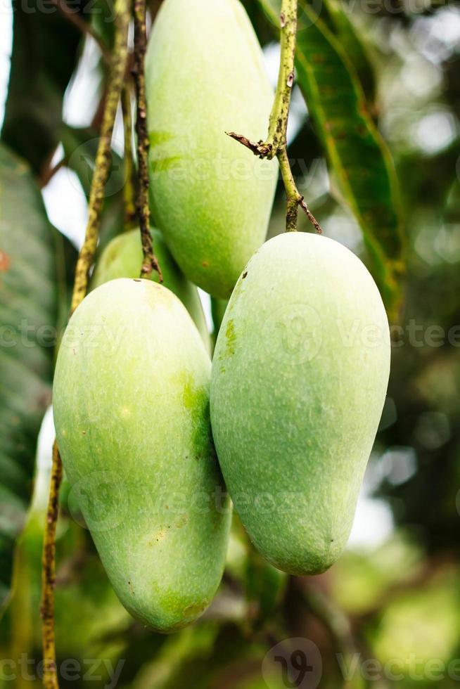 Close up of mangoes photo