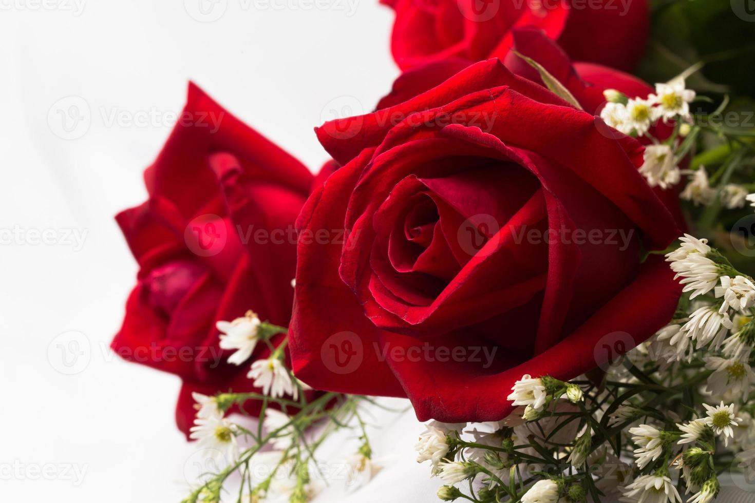 Holland roses close up photo