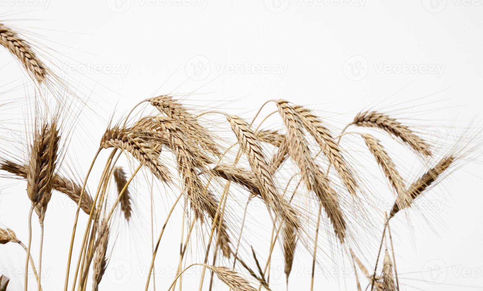 primer plano de trigo 1 foto