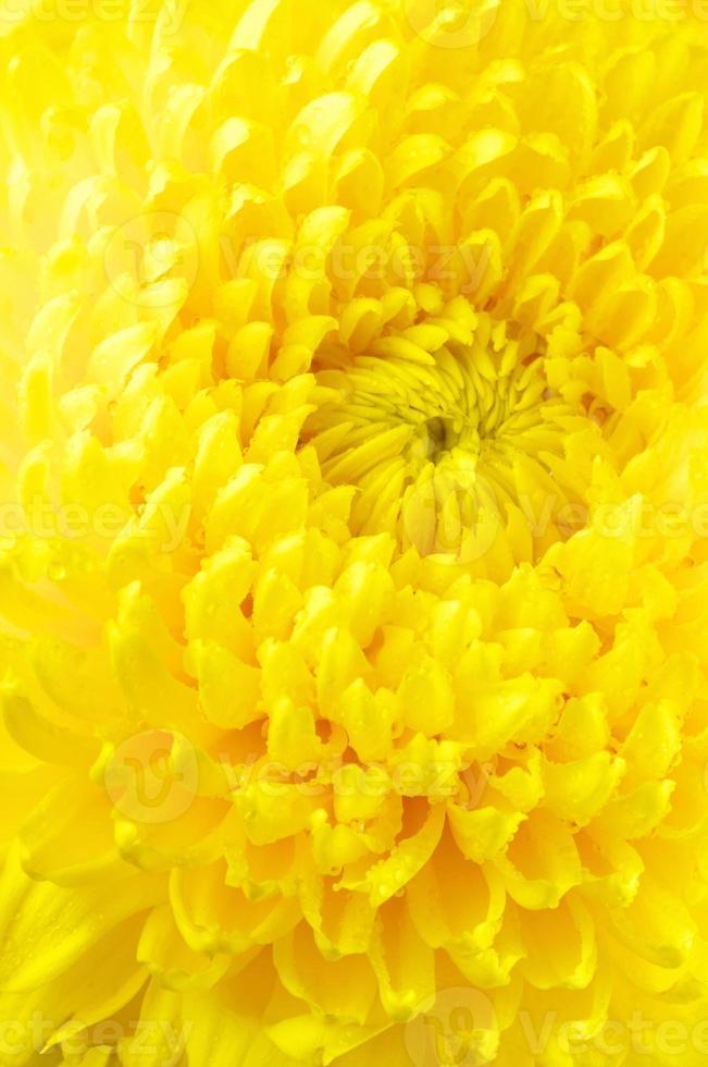 Yellow chrysanthemum close-up photo