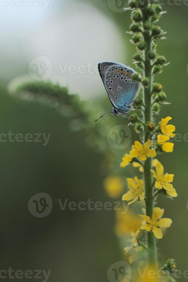 azul común (polyomathus icarus) foto