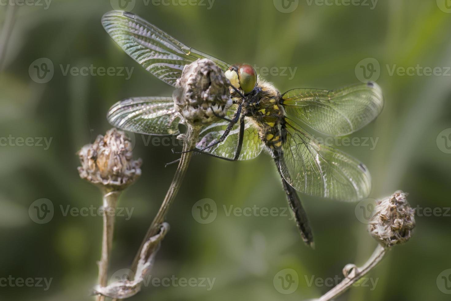 Retrato de un dardo alado amarillo foto