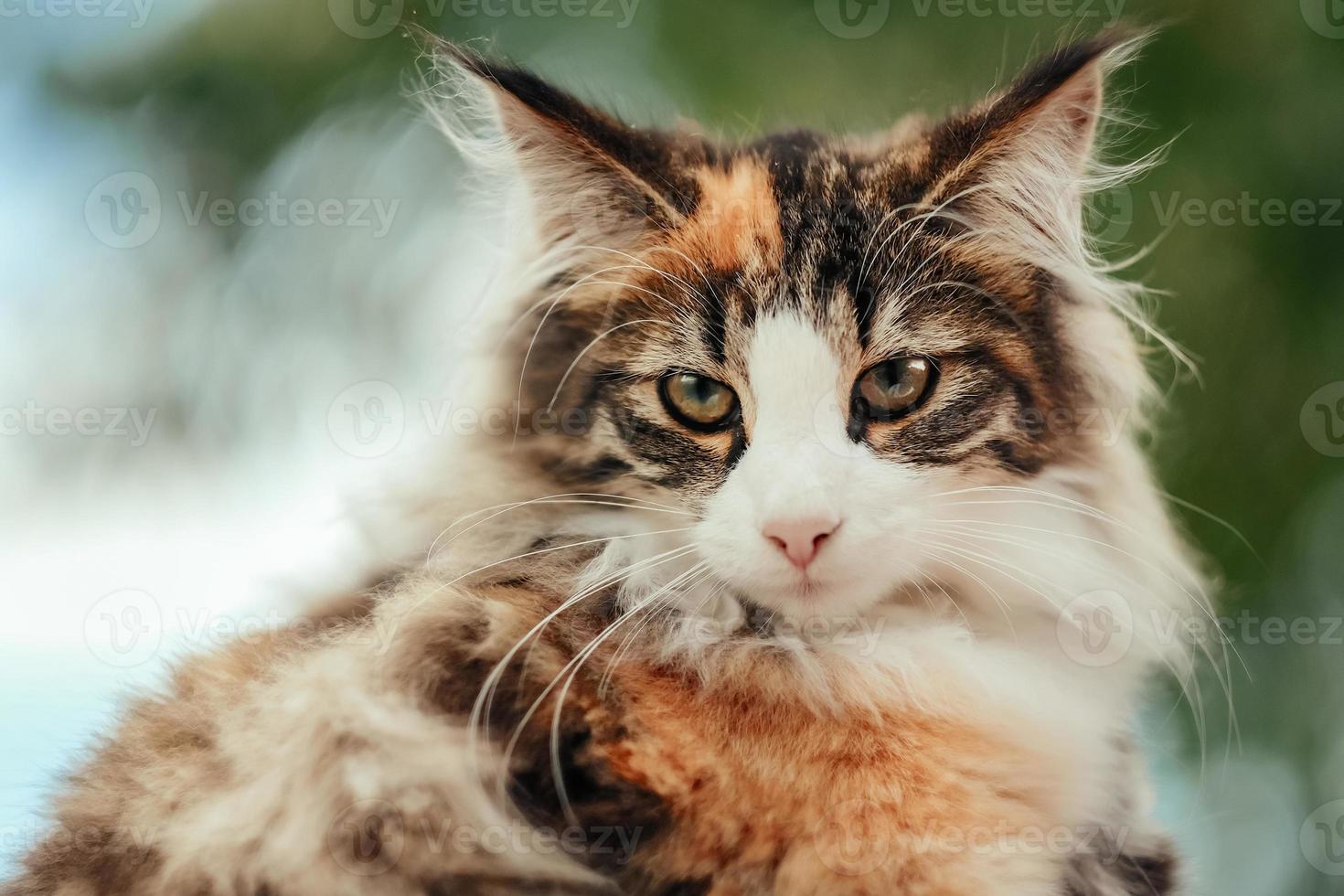 primer plano de gato doméstico foto