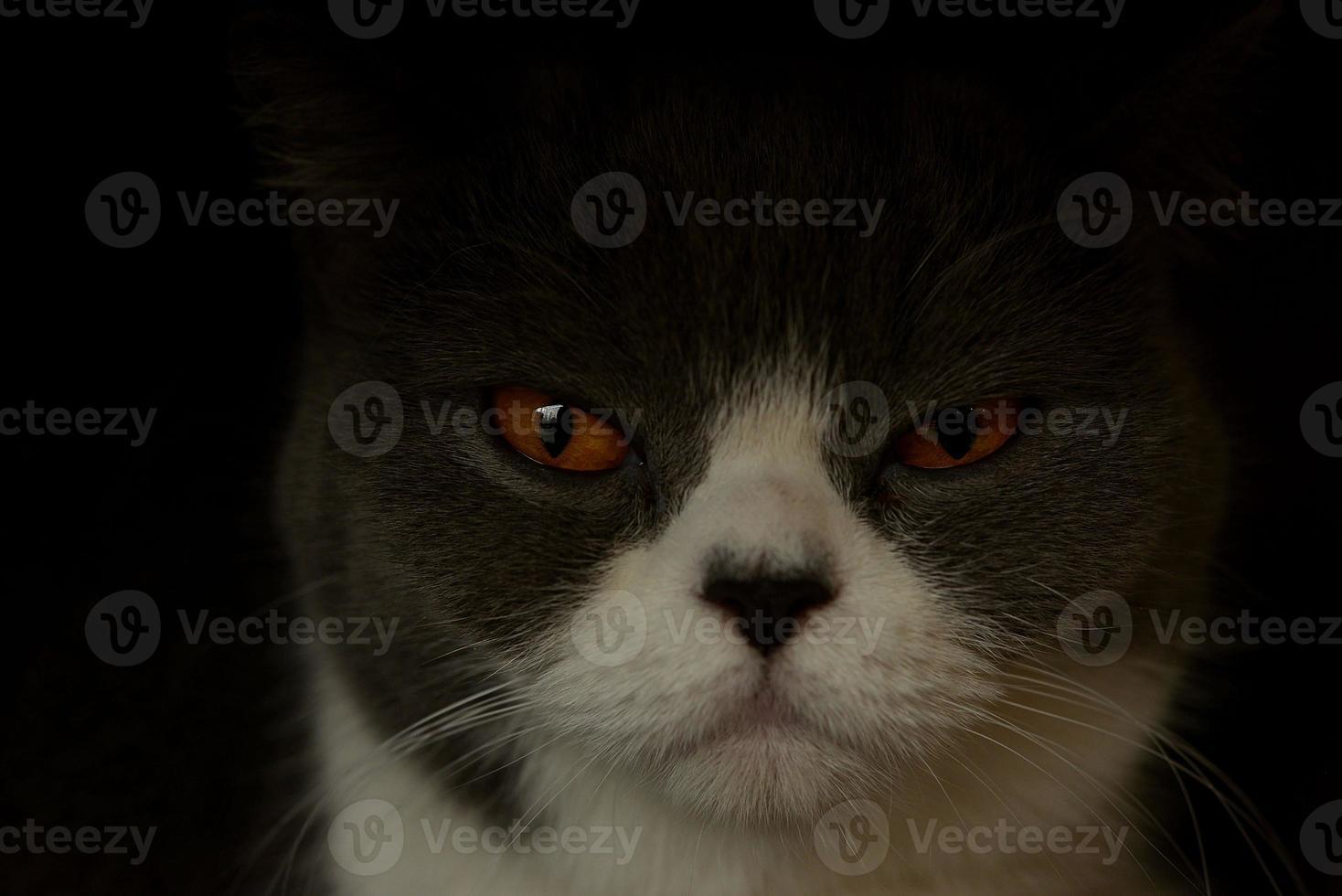 close-up of domestic cat portrait photo