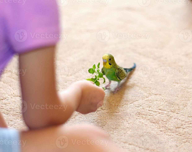 periquito verde (periquito doméstico) en el piso foto