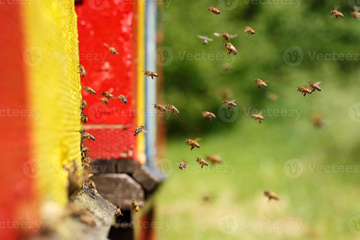 abejas domésticas que regresan a su colmenar foto