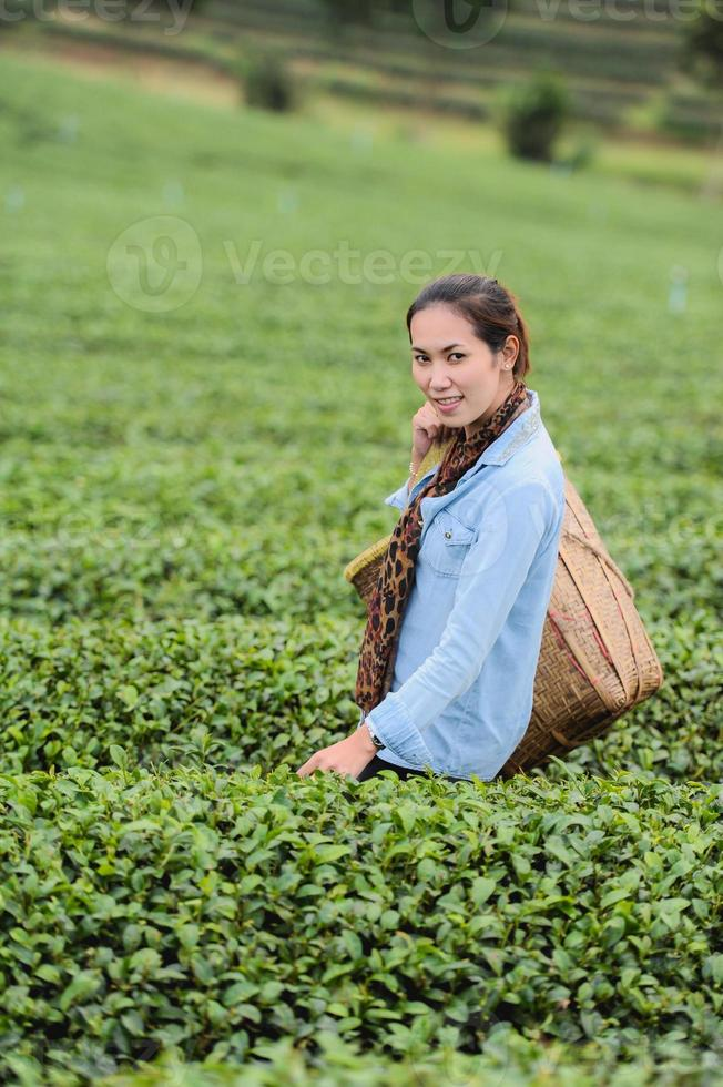 Asia beautiful Woman picking tea leaves in plantation, lifestyle concept photo