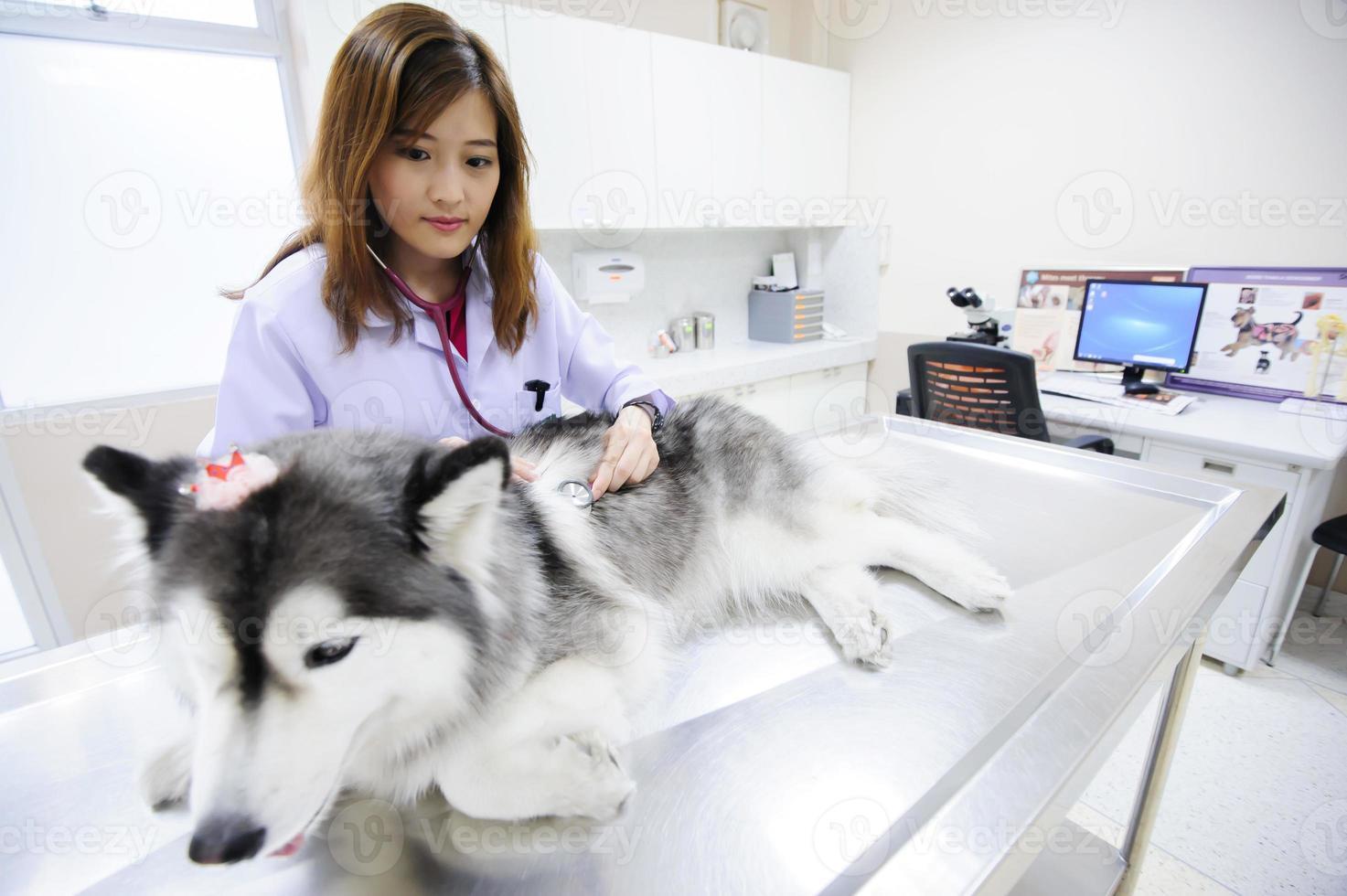 joven veterinario examinando lindo husky siberiano foto