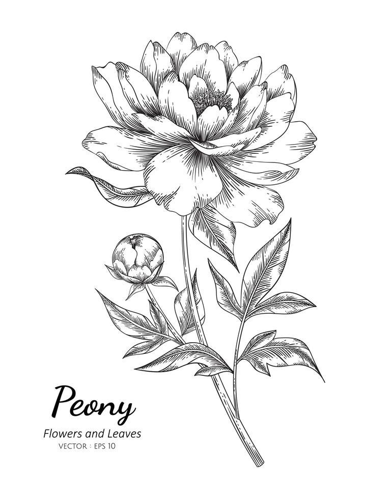 flor de peônia desenhada de mão vetor