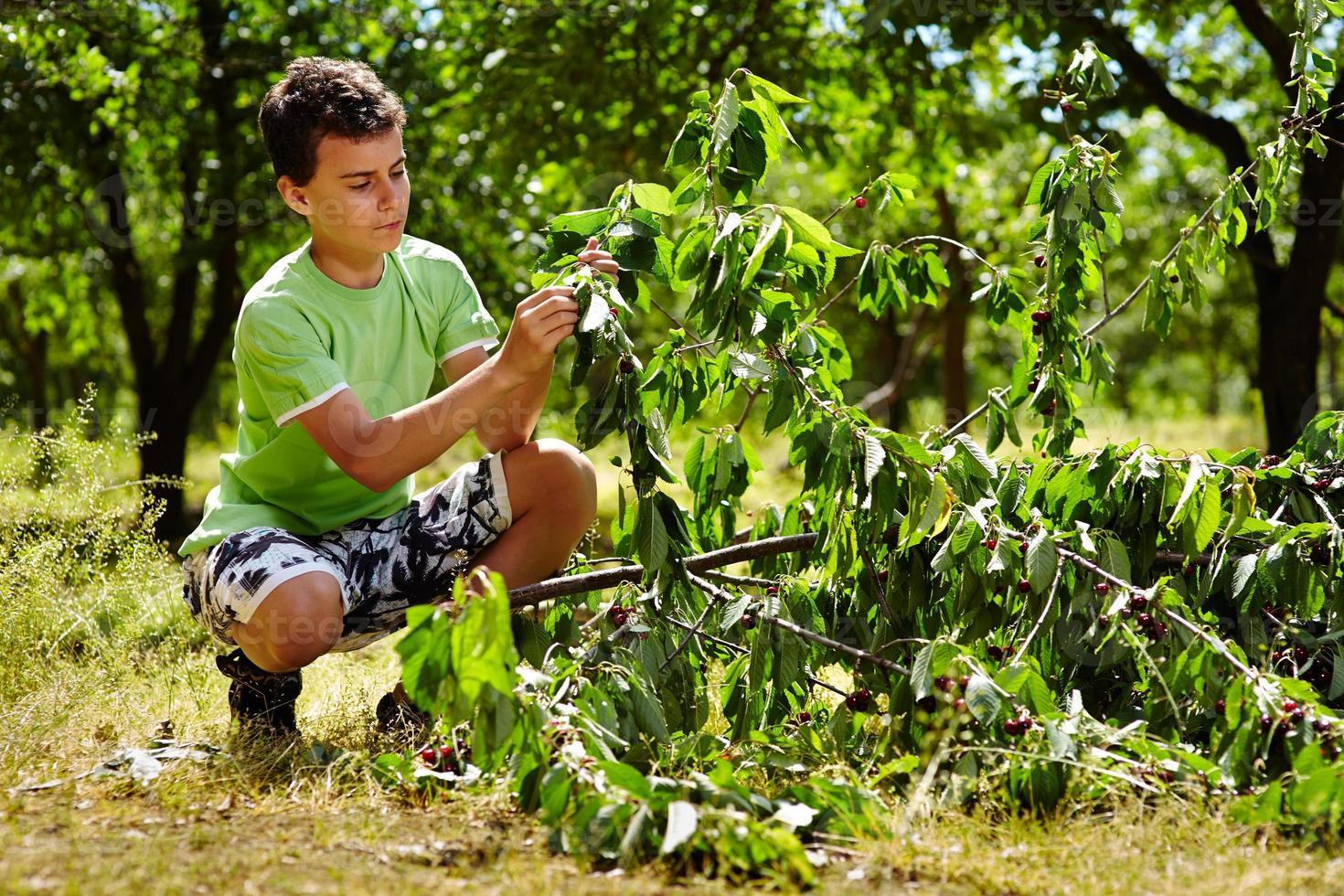 Teenage kid picking cherries photo