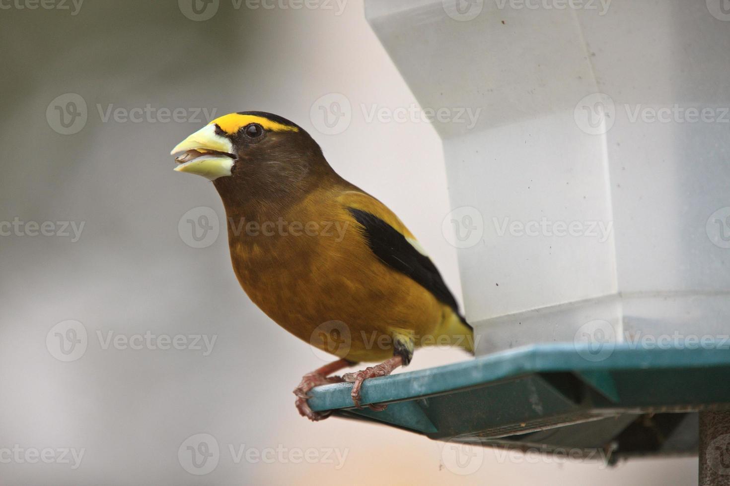 Pájaro de noche masculino foto