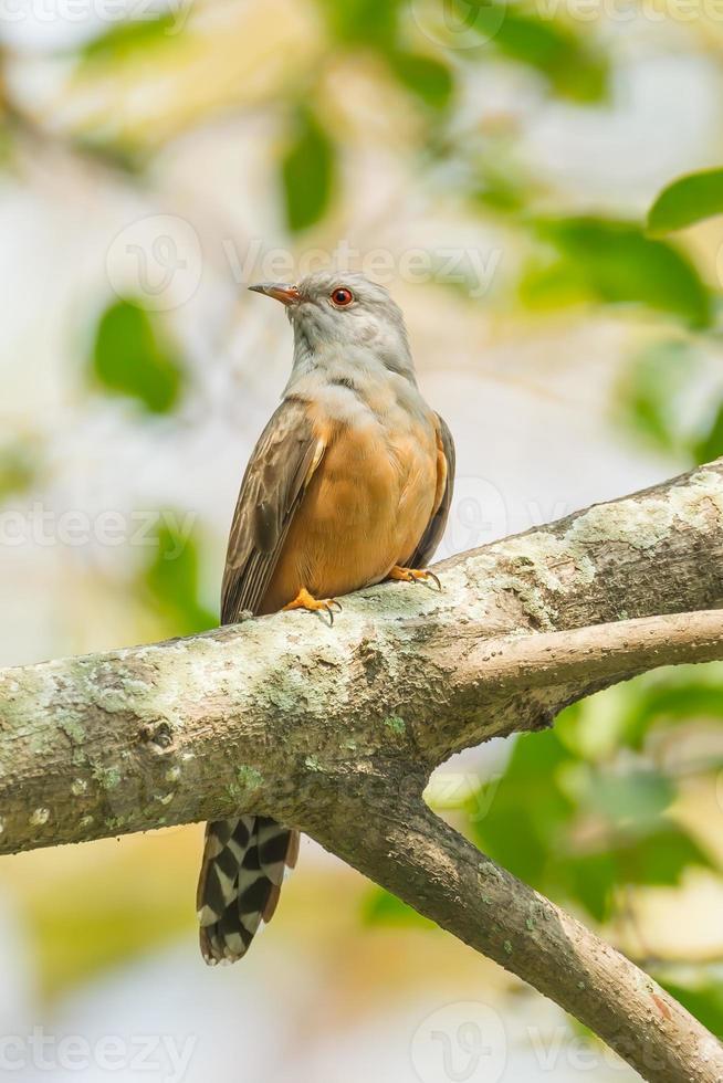 Male Plaintive Cuckoo photo