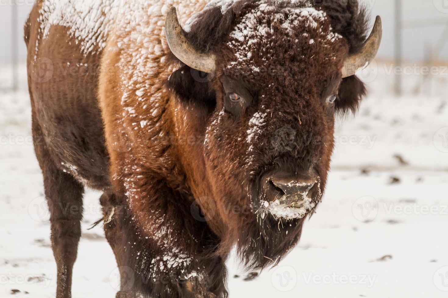 grote mannelijke buffel foto
