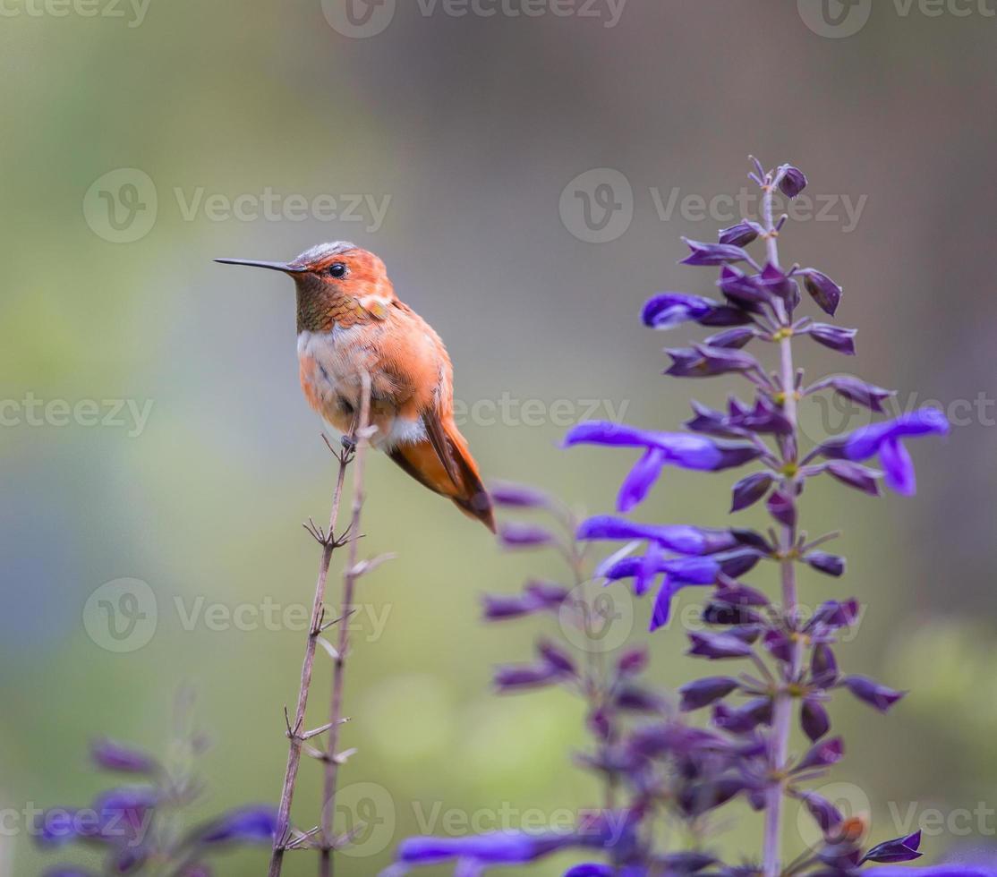 rufus colibrí macho. foto