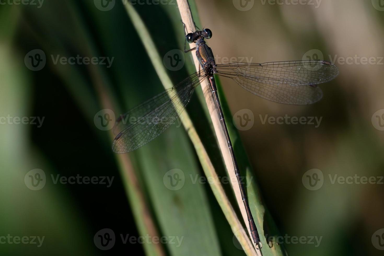 Lestes parvidens, male photo