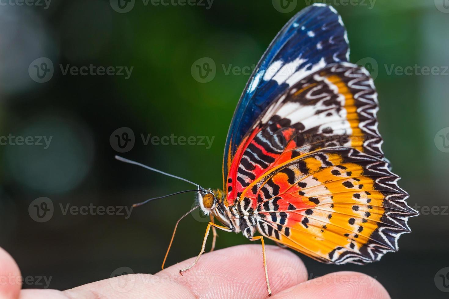 Male leopard lacewing butterfly photo