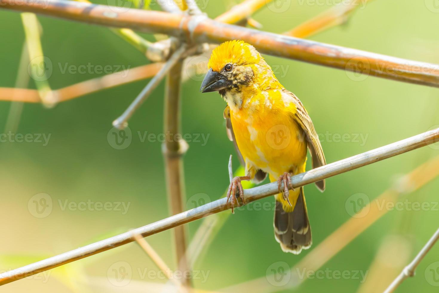 Male asian golden weaver photo