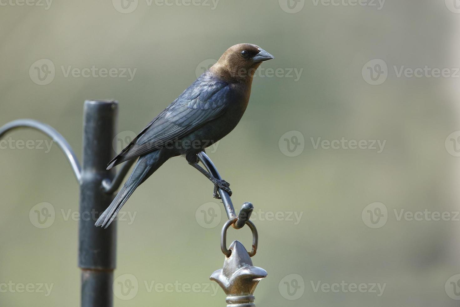 cowbird macho de cabeza marrón foto