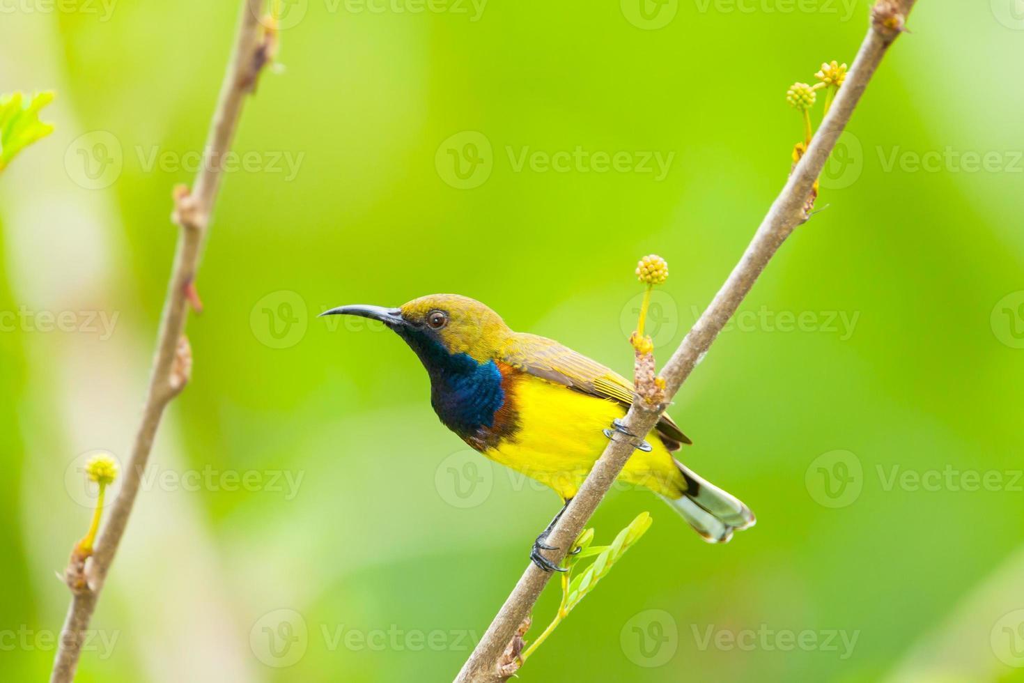 Sunbird macho con espalda verde oliva foto