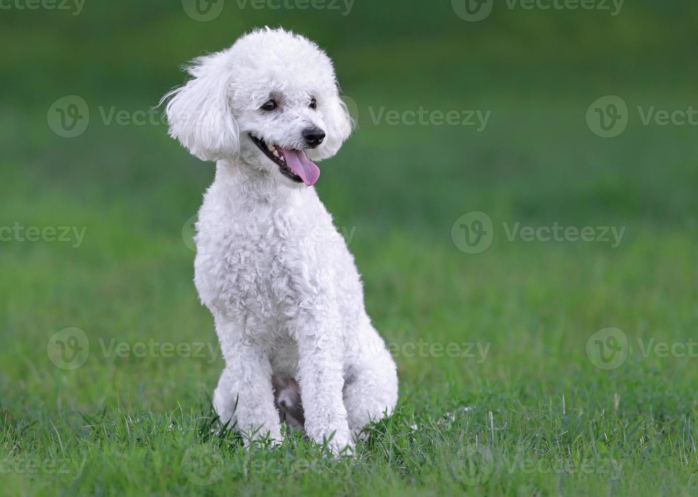 lindo perrito caniche macho blanco foto