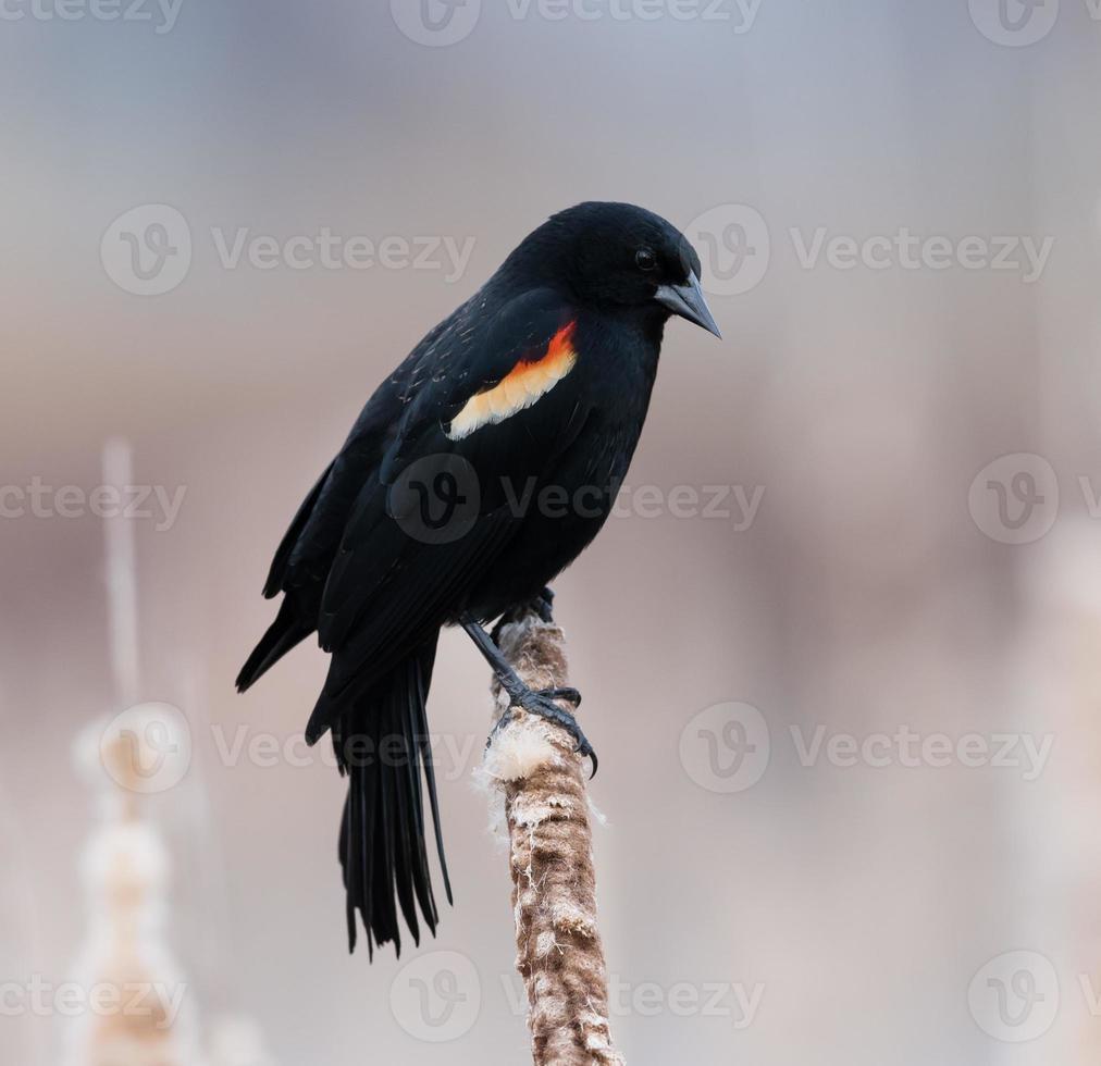 pájaro negro macho de alas rojas foto