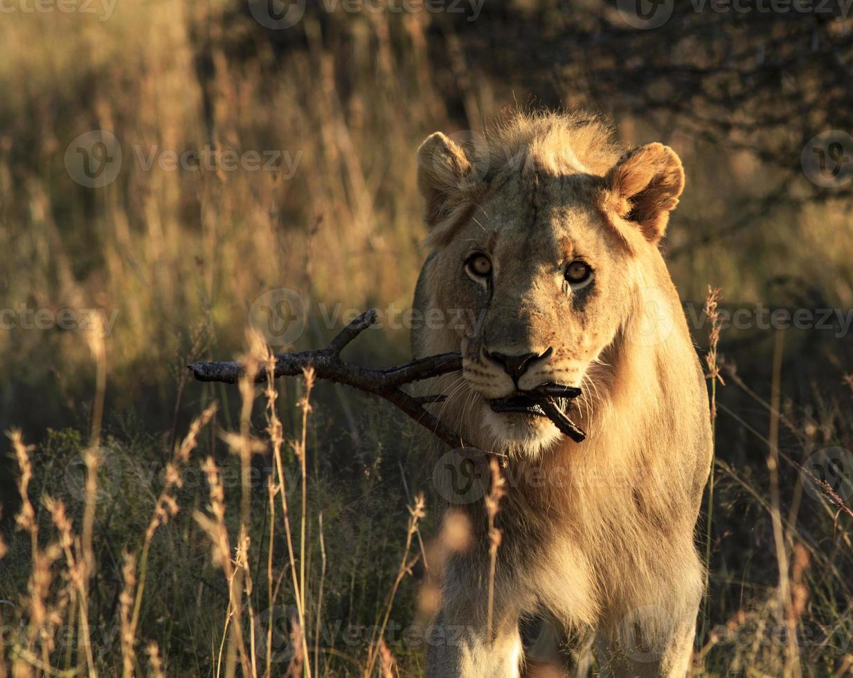 Playful male lion carrying stick photo