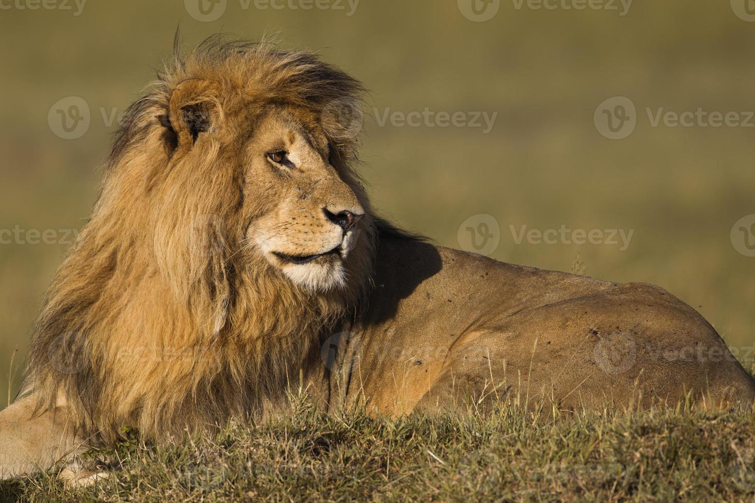 retrato de un león macho foto