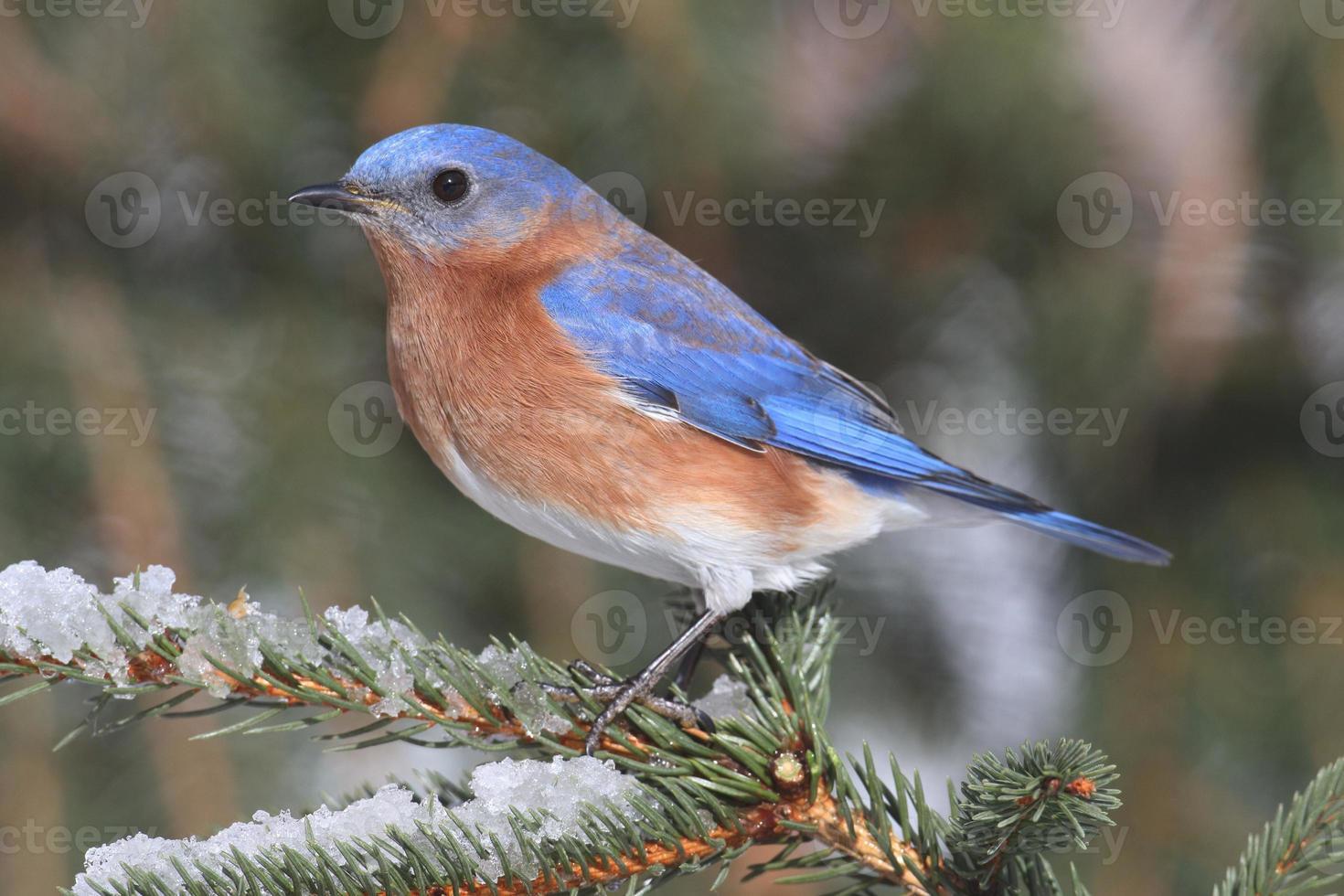 bluebird oriental macho en la nieve foto