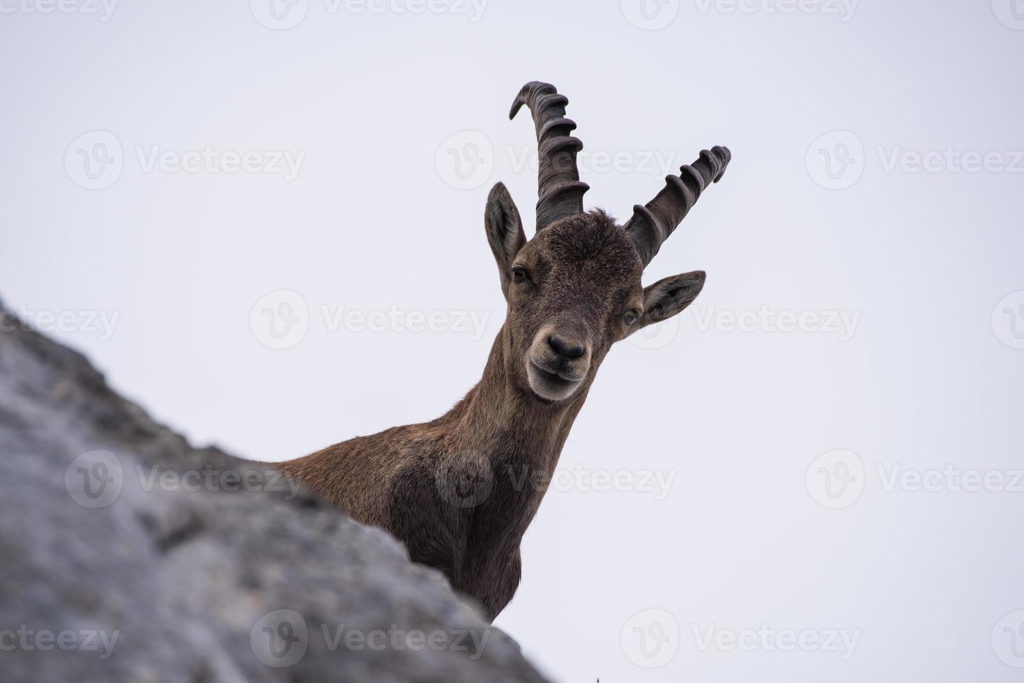 cabra montés macho en los Alpes julianos foto
