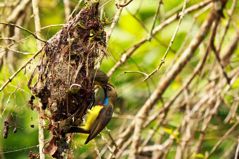 alimentación de aves solares de vientre amarillo macho foto