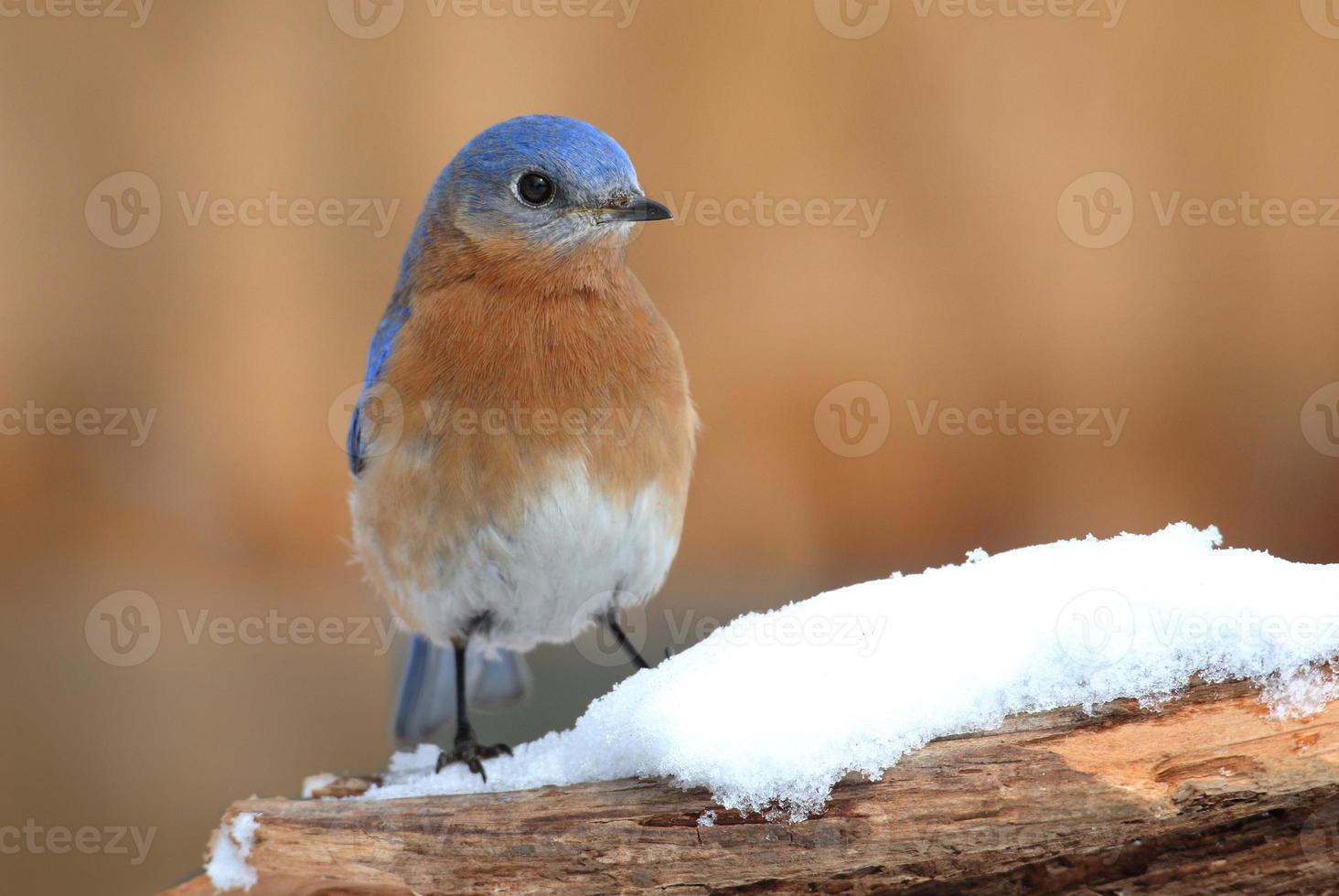 Male Eastern Bluebird in Snow photo