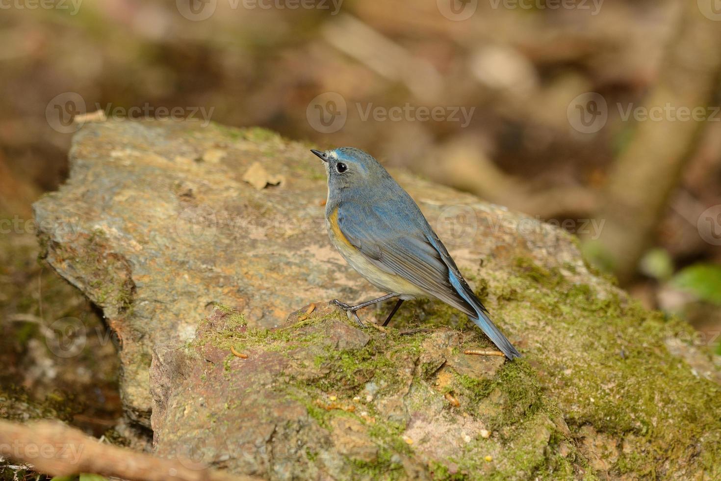 cola azul macho de flanco rojo (tarsiger cyanurus) foto