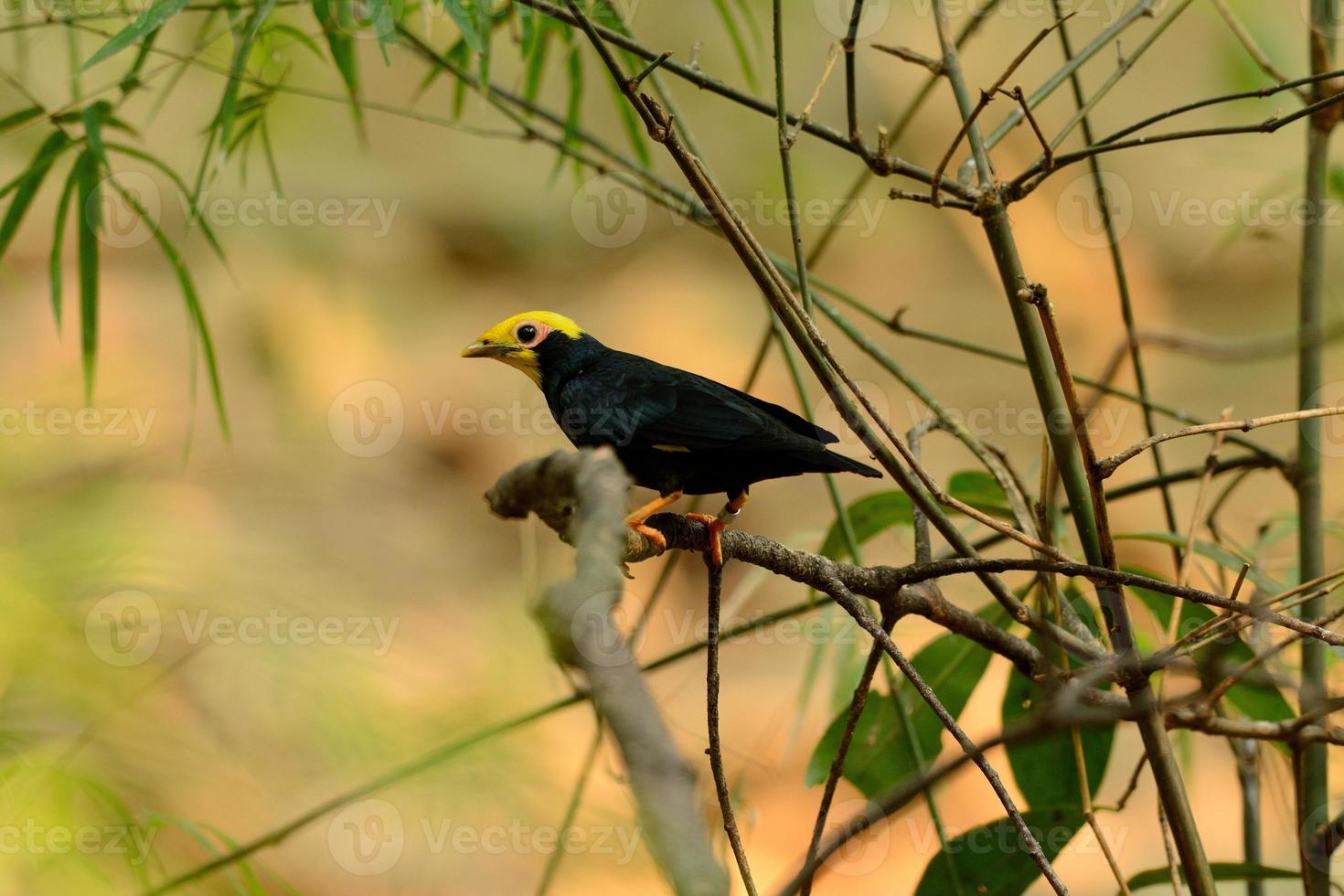 Myna macho de cresta dorada (ampeliceps coronatus) foto