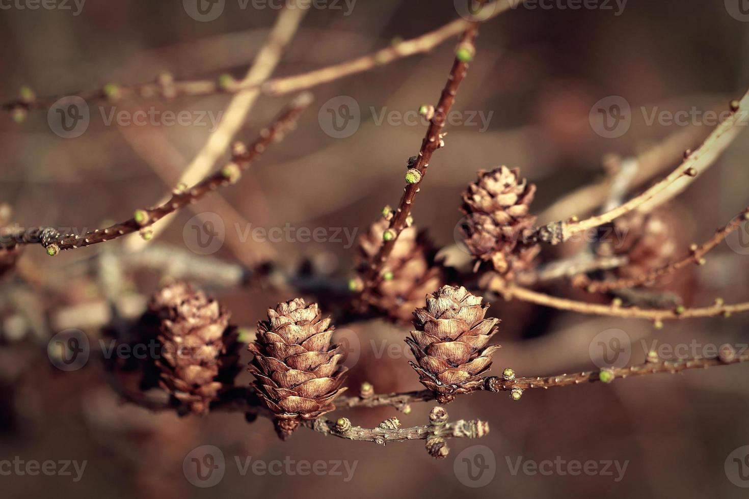 Cones on the branch wooden nature background. Retro colour filters photo