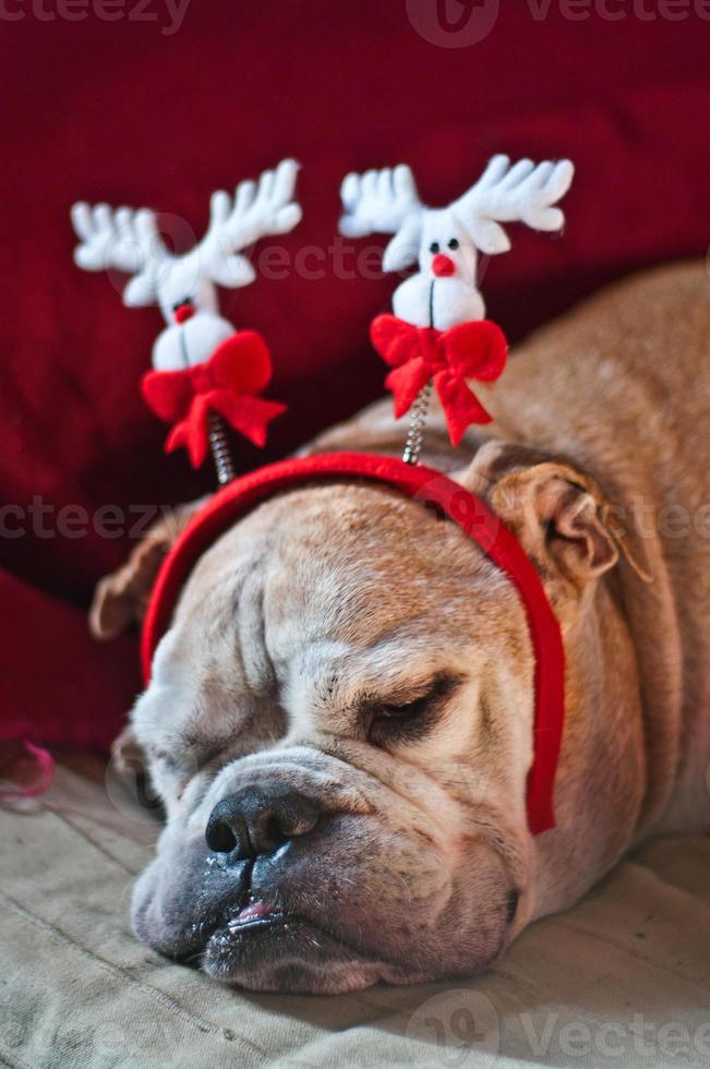 Bulldog asleep after Christmas photo