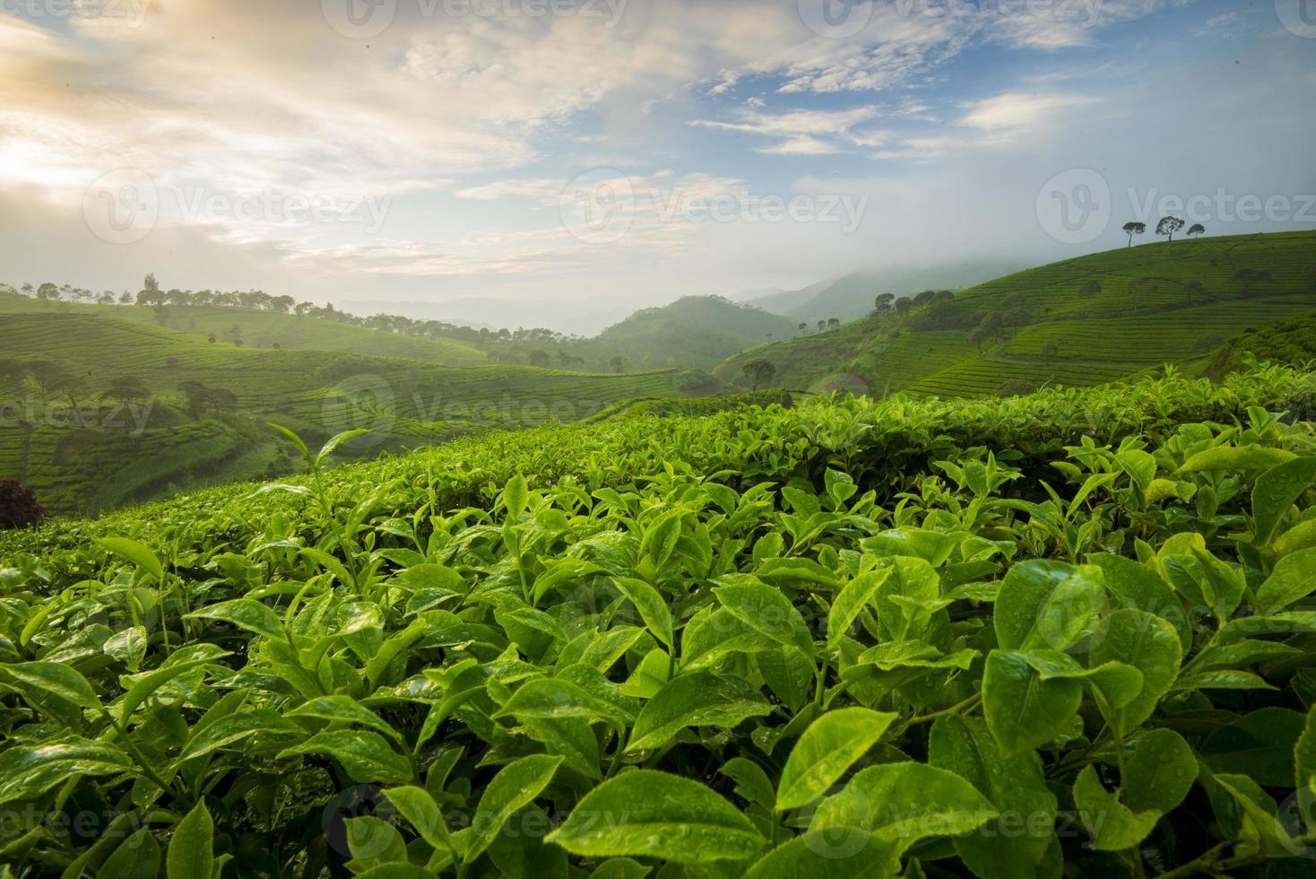 Beautiful pattern of tea field in Indonesia In the morning photo